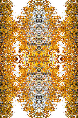 Abstract kaleidoscope pattern of tree canopies showing branches and autumnal leaves - p1047m2204344 by Sally Mundy