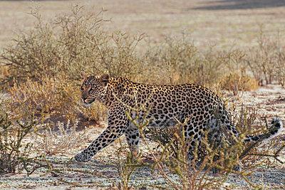 Leopard - p1065m885912 von KNSY Bande