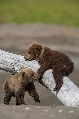 Playing young bear - p745m889517 by Reto Puppetti