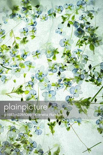 Delicate blossoms in hibernation - p1657m2288098 by Kornelia Rumberg
