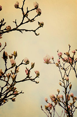 Blossoming magnolia tree against cloudy sky - p1047m1007779 by Sally Mundy