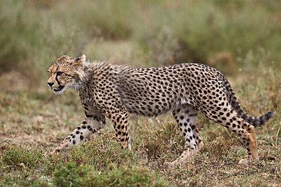 Cheetah  cub, Serengeti National Park, Tanzania, East Africa, Africa - p871m1056778f by James Hager