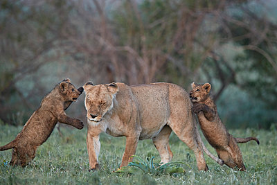 Lion (Panthera leo), two cubs playing with their mother, Ngorongoro Crater, Tanzania, East Africa, Africa - p871m1498487 by James Hager