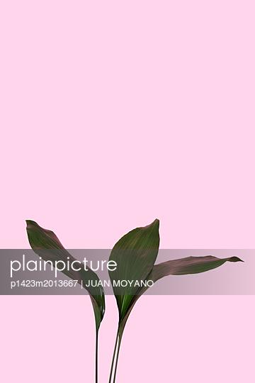 Grüne Blätter vor rosa Hintergrund - p1423m2013667 von JUAN MOYANO