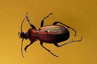 Entomoloy, single skewered beetle - p1629m2211347 by martinameier