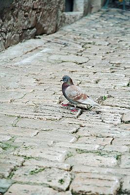 Dove on cobblestones - p317m1194799 by Nina Steul