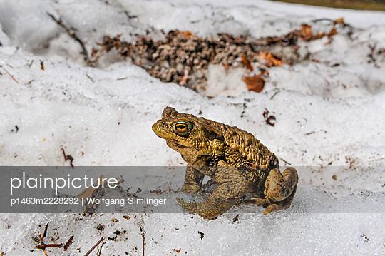 Erdkröte, männlich bei der Laichwanderung im Schnee, bufo bufo - p1463m2228292 von Wolfgang Simlinger