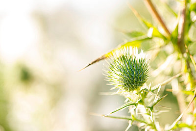 Thistle, close-up - p624m1045666f by Frederic Cirou