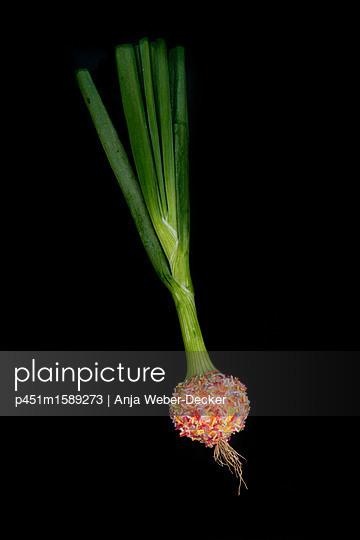 Gezuckerte Lauchzwiebel - p451m1589273 von Anja Weber-Decker