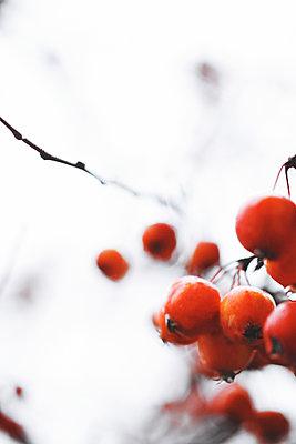 Rote Beeren Nahaufnahme - p1006m1425225 von Danel