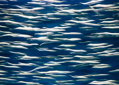 A school of Pacific Sardines fish - p1100m887962f by Paul Edmondson