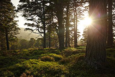 Wald im Cairngorm Nationalpark, Schottland - p1145m1558739 von Kerstin Lakeberg