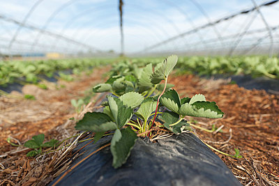 Germayn;  North Rhine-Westphalia;  Neuss;  greenhouse;  strawberry field - p300m836995f by reka prod.