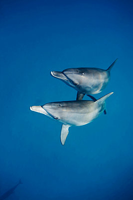 Two Indo Pacific bottlenose dolphins ascending synchronously - p3433415 by Kennet Havgaard