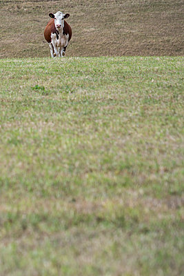 Einzelnes Rind auf dem Feld - p1057m2008289 von Stephen Shepherd
