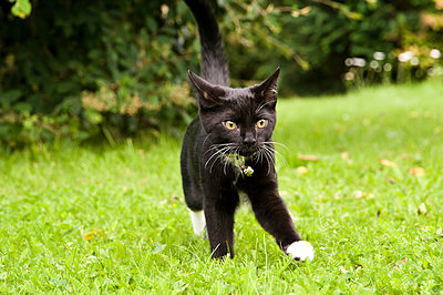 A black and white kitten walking on the lawn with stiff legs. - p1433m2008059 by Wolf Kettler