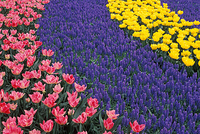 Tulip beds - p4342401f by Francois Jacquemin