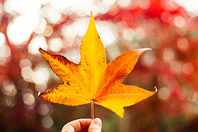 Woman holding yellow maple leaf, close-up - p924m1447050 by Ashley Corbin-Teich
