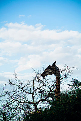 Reticulated giraffe; Kenya - p1002m833727 by christian plochacki