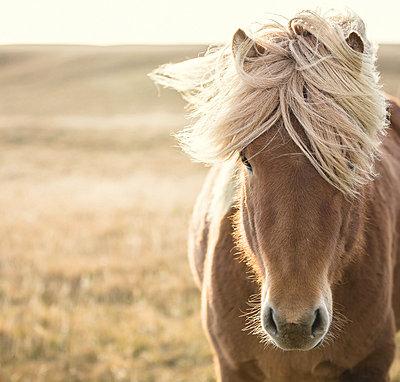 Icelandic horse  - p1084m857926 by Operation XZ