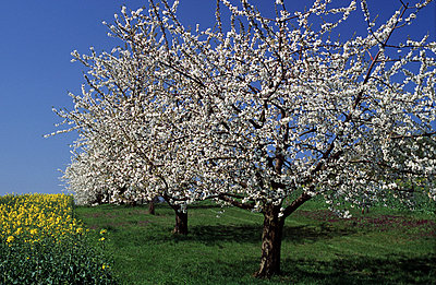 Apple tree - p2680086 by Andres Wertheim