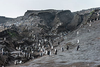 UK, South Georgia and South Sandwich Islands, Chinstrap penguin (Pygoscelis antarcticus) colony on Saunders Island - p300m2202997 by Michael Runkel