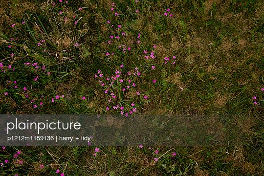 Lila Feldblumen - p1212m1159136 von harry + lidy