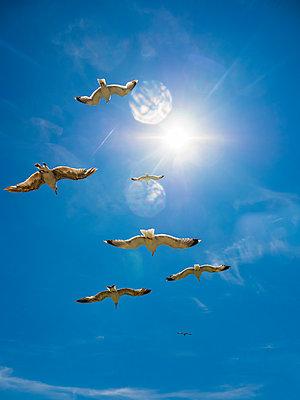 Flying herring gulls - p300m2023524 by Martin Moxter