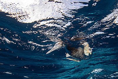 Brown Booby hunting underwater, Puntarenas, Costa Rica - p429m2019332 by Rodrigo Friscione