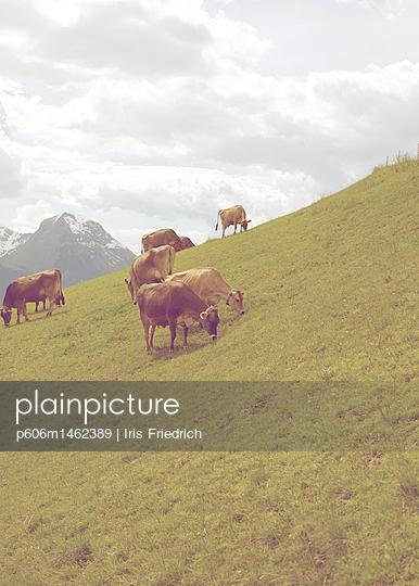 Kühe in den Bergen - p606m1462389 von Iris Friedrich
