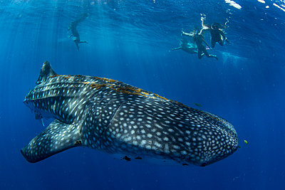 Tourists snorkelling with a whale shark (Rhincodon typus) in Honda Bay, Palawan, The Philippines, Southeast Asia - p871m2122881 by Duncan Murrell