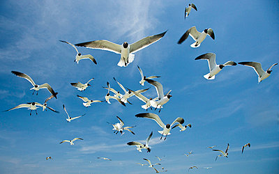 A Flock of Laughing Gulls - p3435703 by Phil Nelson