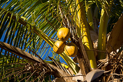 Coconuts - p6280333 by Franco Cozzo