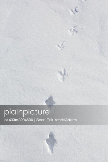 Rock ptarmigan (Lagopus muta. Lagopus mutus) tracks. footprints in the snow in winter showing transition from deep snow to hard crust - p1403m2294630 by Sven-Erik Arndt/Arterra