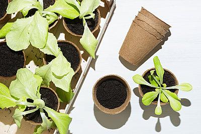 Planting salad - p1149m1132478 by Yvonne Röder