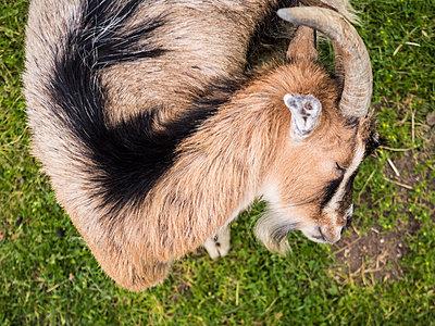 Billy goat - p930m2191658 by Ignatio Bravo