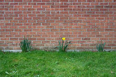 Einzelne Narzisse vor Backsteinwand - p1057m1220624 von Stephen Shepherd