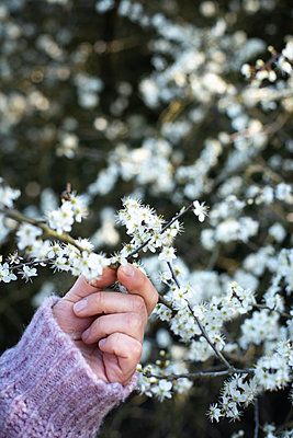 Hand holding a blackthorn twig - p310m2279008 by Astrid Doerenbruch
