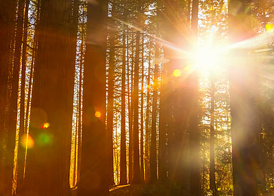 Sunlight shining brightly through the trees in a forest at Red Willow Park: Surrey; British Columbia, Canada - p442m2004084 by LJM Photo