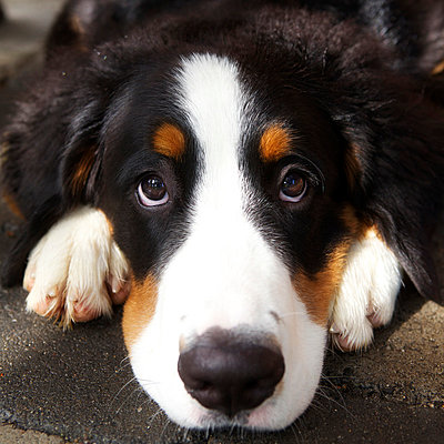 Bernese mountain dog; close up - p545m822693 by Ulf Philipowski