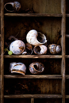 Collecton of snail shells on shelves in a wooden frame - p1047m1109669 by Sally Mundy