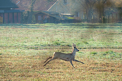 Roebuck taking flight - p739m2077207 by Baertels