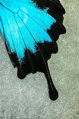 Wing of a butterfly - p971m1039157 by Reilika Landen