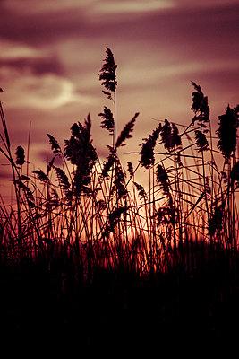 Sonnenuntergang mit Schilf - p1199m1538845 von Claudia Jestremski