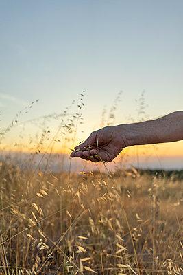 Spain, Catalonia, Hand plucking grasses on Montserrat at sunset - p300m2012330 von VITTA GALLERY