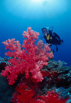 Diver by the red sea anemones underwater - p34810284 by Kimmo Hagman