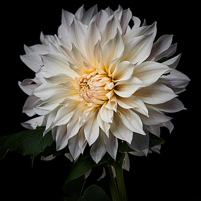 Dahlia blossom in white shades - p587m2115477 by Spitta + Hellwig