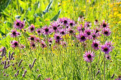 Botanic Garden, purple coneflowers - p300m2062226 by Nabiha Dahhan