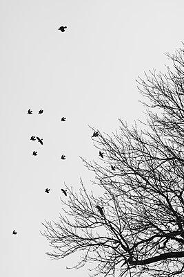 Flock of birds - p816m1032274 by Bekkelund, Thorfinn