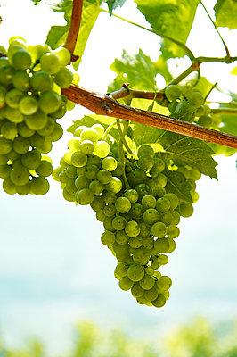 Weintrauben am Rebstock - p851m1116252 von Lohfink